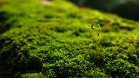 Macro green Pogonatum plants Stock Photos