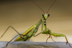 Macro green praying mantis seen from front. Macro photo of a green  praying mantis looking straight into camera Stock Photography