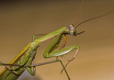 Macro green praying mantis seen from side Royalty Free Stock Photos