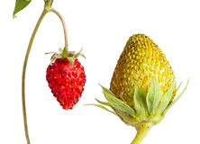 Macro of green and ripe strawberry Stock Photography