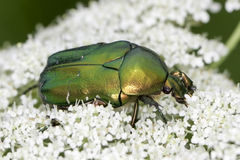 Macro green rose chafer / Cetonia aurata Stock Photography