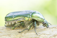 Macro green rose chafer / Cetonia aurata Stock Photos