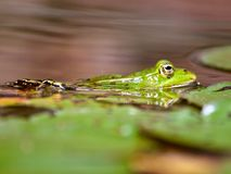 Macro of a green small waterfrog stock images