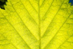 Macro of a green summer leaf In The Sunlight royalty free stock images