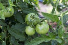Macro green tomatoes in my garden. Macro green tomatoes in garden stock image