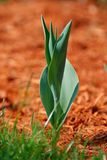 Macro of green tulip leaf Royalty Free Stock Photography