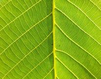 Macro green walnut leaf Royalty Free Stock Images