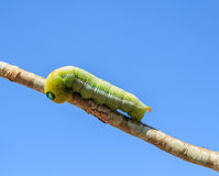 Macro green worm on the tree branch Stock Photo