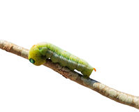 Macro green worm on the tree branch isolated Stock Photography