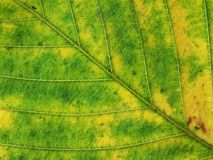 Macro green and yellow leaf Stock Photography