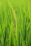 Macro The Green young rice in the field rice Royalty Free Stock Photos