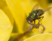 Macro of greenbottle fly (Lucilia) on yellow leaves Stock Photos