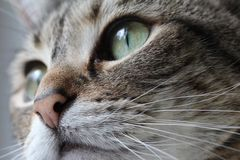Macro grigia del gatto Immagine Stock Libera da Diritti