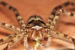 Macro grote spin op de vloer stock afbeelding