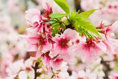 Macro Group Blossom pink sakura in the garden Royalty Free Stock Images