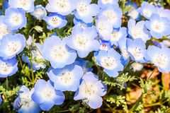 Macro of group purple and white Nemophila spring flower in hitachi seaside park royalty free stock photo
