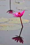 Macro group of red white pink purple flower lotus in water garde Stock Photography