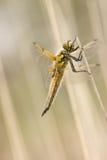Macro haut étroit de libellule Photos libres de droits