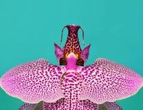Macro haute résolution des orchidées de Dendrobium photographie stock libre de droits