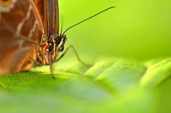 Macro head, Blue Morpho butterfly Royalty Free Stock Photos
