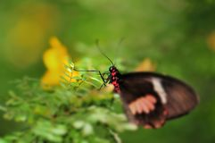 Macro head of common rose butterfly Royalty Free Stock Photography