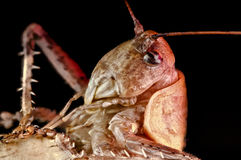 Macro of head of cricket nymph Royalty Free Stock Images