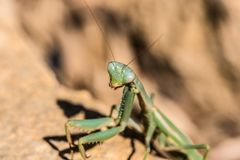 Macro of the Head of a Green Praying Mantis Stock Photography