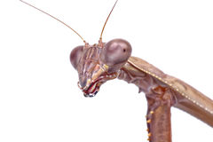 Macro of head of mantis on a white background Stock Photo