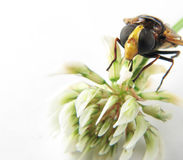 Macro of the head of a wasp on a flower Royalty Free Stock Photo