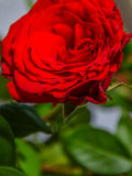Macro heart of red rose close-up with its petals Royalty Free Stock Photography