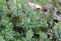 Macro of heath bedstraw (Galium saxatile) in spring Royalty Free Stock Photography
