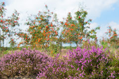 Macro heather flowers with sorbus trees in background Stock Photo