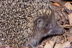 Macro Hedgehog sitting on leaves Stock Photo