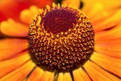 Macro helenium de fleur (foyer sélectif) Images stock