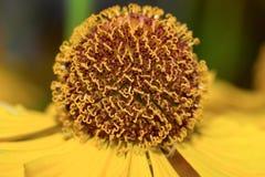 Macro helenium de fleur (foyer sélectif) Photographie stock