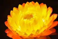 Macro helichrysum bracteatum australia Stock Image