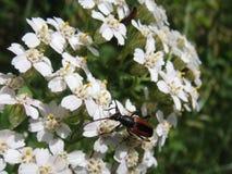 Macro hermosa de la flor blanca del flor con el escarabajo Fotografía de archivo