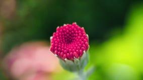 Macro hermosa de la flor del resene Fotos de archivo libres de regalías