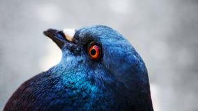 Macro hermosa de la paloma Fotografía de archivo libre de regalías