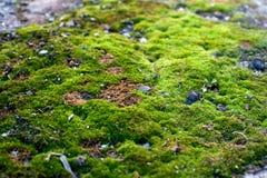 Macro het groene mos groeien slechts in het Noorden kijkt als een feebos royalty-vrije stock foto