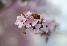 Macro of highlighted  pink cherry flowers Royalty Free Stock Image