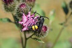 Macro hirta caucasien noir et jaune de Scolia de guêpe de la terre sur des blos Photographie stock libre de droits