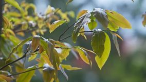 Macro Holiday Symbol Mandarin Tree Which Leaves Sway under Wind. Macro traditional holiday symbol mandarin tree which green leaves sway under light wind breath stock video