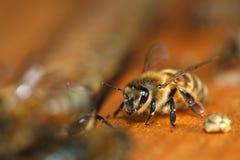 Macro of Honey Bee Stock Photo