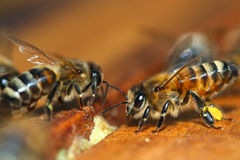 Macro of Honey Bee Stock Photo