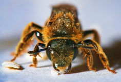 Macro of honey bee Royalty Free Stock Photography