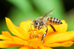 Macro of honey bee eating nectar royalty free stock photography