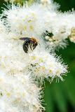 Macro of honey bee feeding on white flowers Royalty Free Stock Photo