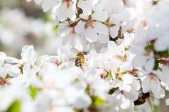 Macro Honey Bee harvesting pollen from Cherry Blossom Stock Photo