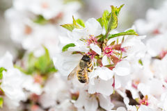 Macro Honey Bee harvesting pollen from Cherry Blossom Stock Image